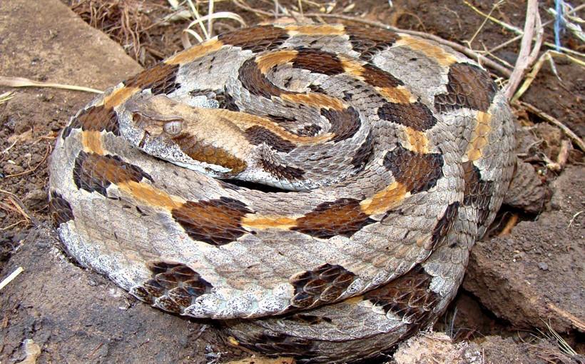 Timber rattlesnake dorsal scales