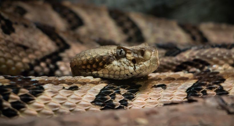 Timber rattlesnake body and head