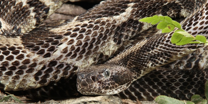 Large timber rattlesnake