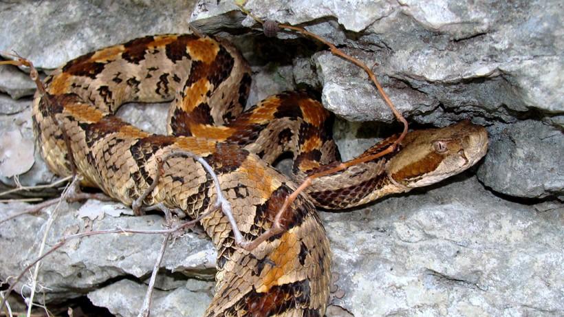 Timber rattlesnake on limestone bluff