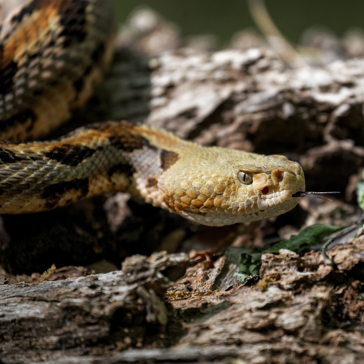 Where did rattlesnakes come from?