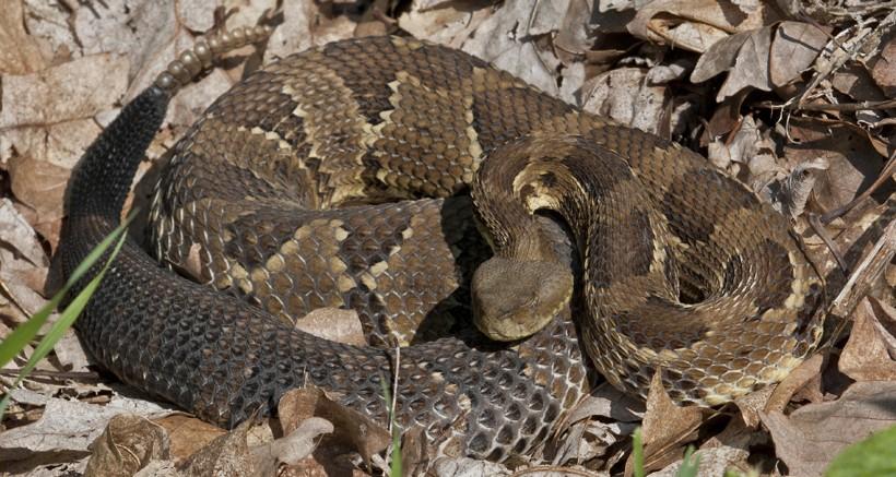 Timber rattlesnake, Elk State Forest, Pennsylvania