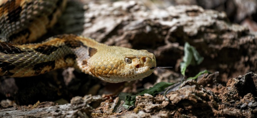 Timber Rattlesnake on the prowl
