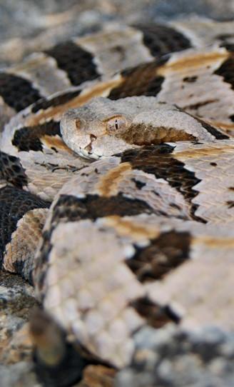 Timber Rattlesnake coiled