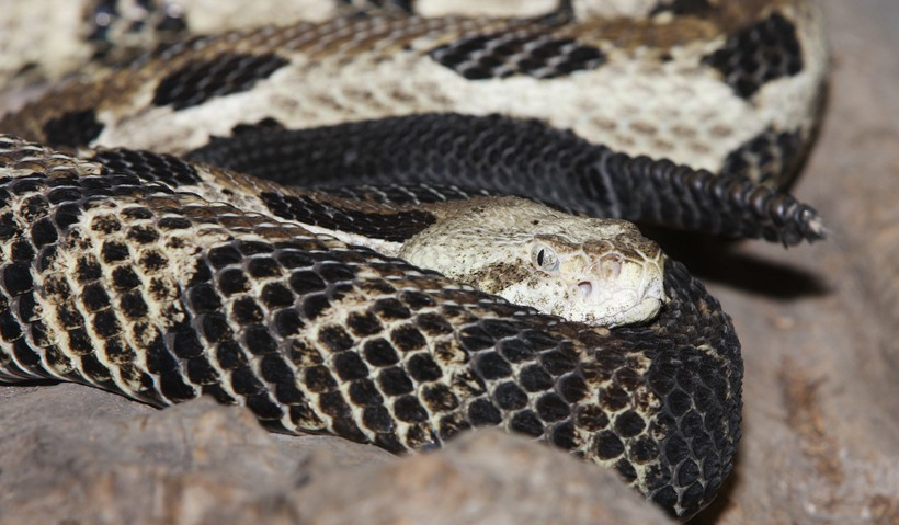 Timber rattlesnake head and rattle