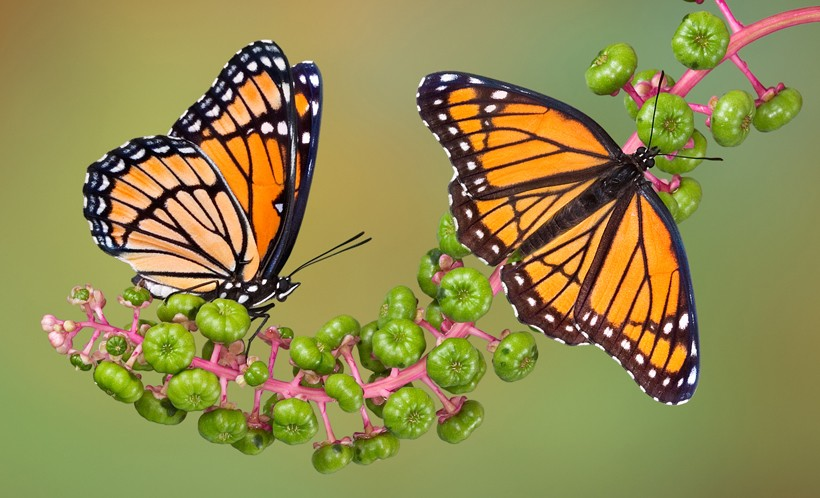 Viceroy butterflies on poke weed