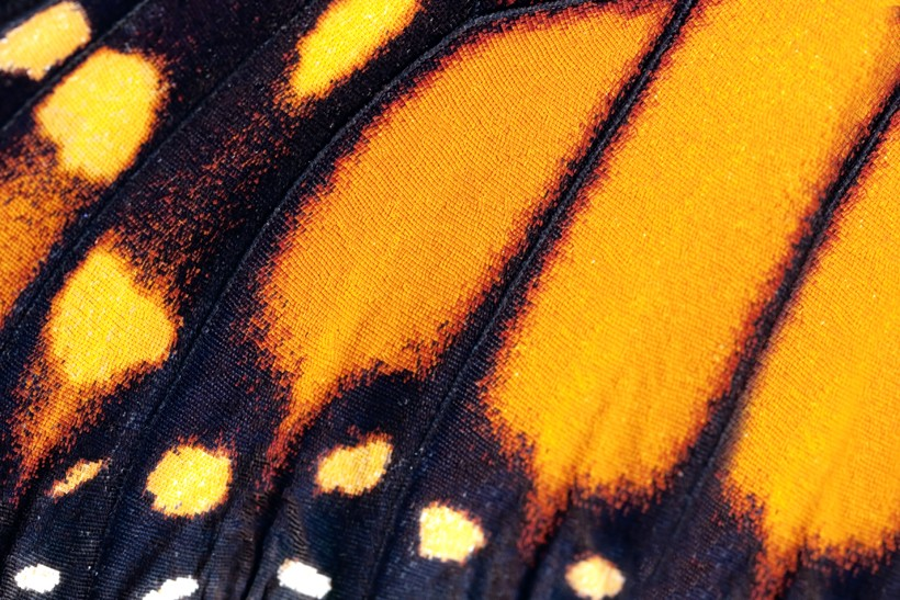 Closeup viceroy wing