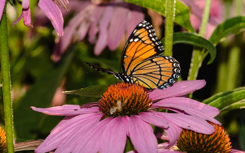 Viceroy butterfly feeding on pink flower