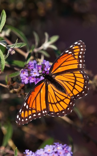 Viceroy butterfly on purple flower