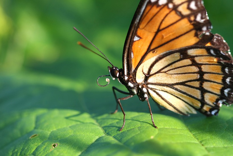 Closeup viceroy butterfly